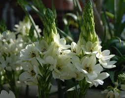 of bethlehem flower striking facts about the of bethlehem flower