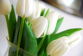 white tulips tulipa white triumph tulip