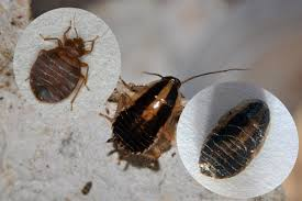 Chicago Bed Bug Experts Baby Cockroach Vs Bed Bug Crowdbuild For