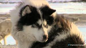 american eskimo dog winnipeg the last dogs of winter brings important message youtube