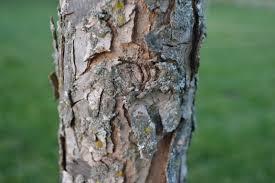 White Oak Swamp White Oak Is A Deciduous Tree That Produces Acorns