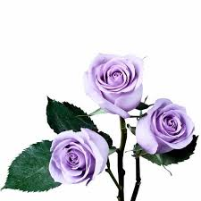 Lavender Roses Lavender Roses U2013 Ifloral Com