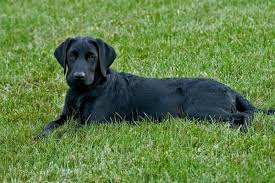 7 month old australian shepherd weight how big should my 7 month old black lab be pets