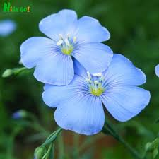blue seed popular blue flax seed buy cheap blue flax seed lots from china