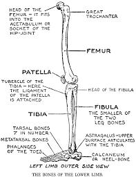 Knee Bony Anatomy Practical Art Anatomy E G Lutz