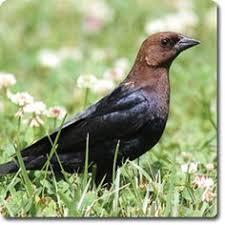 Backyard Wild Birds by Black Capped Chickadee Wild Birds All And Backyard Birds