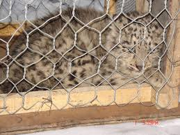 pakistani snow leopard to get new home snow leopard