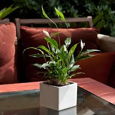 small peace lily in white square ceramic container peace lilies
