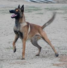 belgian shepherd video belgian malinois stud service maximus samuel photos