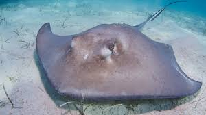 stingray ocean floor ngsversion 1411404172428 jpg