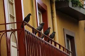 how to get rid of pigeons u0026 keep them away