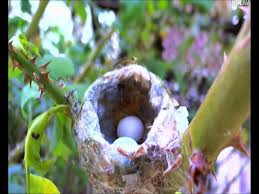 web cameras in the nest hummingbirds веб камера у гнезда колибри