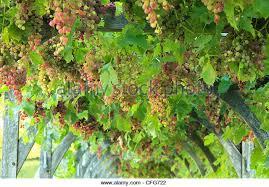 Grape Vine Pergola by Climbing Vine Pergola Stock Photos U0026 Climbing Vine Pergola Stock