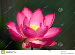 the blooming pink lotus flower stock photos image 4120103