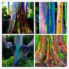big sale 100pcs bag hawaii rainbow eucalyptus tree seeds high