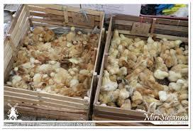 comment cuisiner des c鑵es 17返馬 20170717 美里趴趴走miri city 1 寫在鬱金香的國度