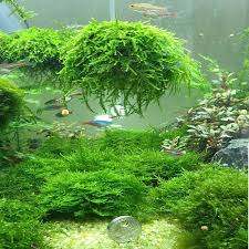 Aquascape Moss Moss Dome Moss Ball Cultivation Nature Aquarium Aquascape Aquatic