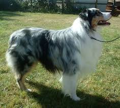 australian shepherd in spanish coat colors and patterns dog coat varieties of colors and patterns