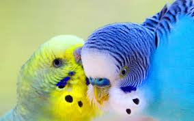 2017 cute love bird colorful parrot hd wallpapers