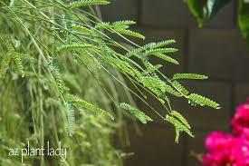 native plants in arizona a wonderful dilemma ramblings from a desert garden