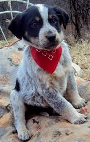 bluetick coonhound puppies near me the adoptable coonhound mix puppies puppies daily puppy
