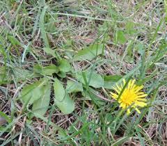 Dandelion Facts Common Dandelion