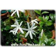 murraya paniculata large orange jasmine jasminum multipartitum african jasmine flora toskana