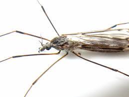 bugblog crane fly halteres