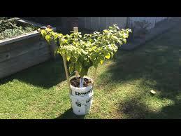 carolina reaper chilli plant worlds hottest chilli home grown