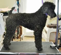 standard poodle hair styles the german trim on a standard poodle grooming business magazine