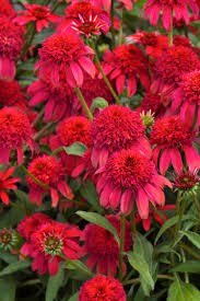 double scoop cranberry coneflower has giant flowers that are