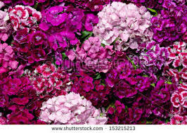 sweet william flowers sweet william flower stock images royalty free images vectors
