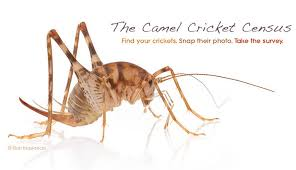Crickets Meme - mysterious crickets squat in american homes citizen science