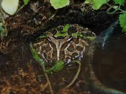 the online zoo ornate horned frog
