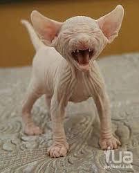 imagenes de gatitos sin frases я не фу бля я кисуня донской сфинкс pinterest gato