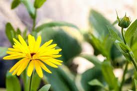 free photo flower blossom summer yellow flower garden flower max