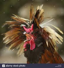 rooster crowing morning stock photos u0026 rooster crowing morning