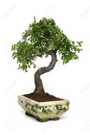 bonsai japanese tree stock photo picture and royalty free image