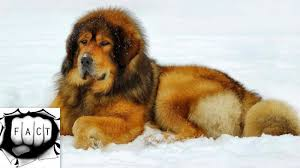 top 10 largest dog breeds in the world youtube