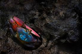 Pleins De Crabe Violonistes Très Avant La Lettre Malaisie