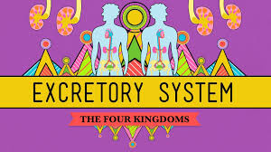 the excretory system from your heart to the toilet crashcourse