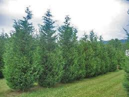 fast growing trees for privacy or shade