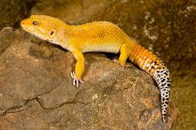 Halloween Crested Gecko Morph by Leopard Gecko Morphs Colors Of Leopard Geckos