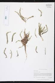 native florida air plants mayaca fluviatilis species page isb atlas of florida plants