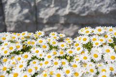 daisy flower pattern stock photo image 13024090