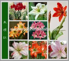 flower bulbs bulbs amaryllis bulbs for cutting