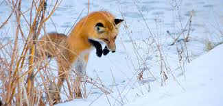 arctic fox tails 4 39 waters west fly fishing outfitters foxes use the earth s magnetic field as a targeting system not