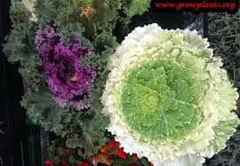 ornamental kale plant growing grow plants