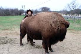 belgian sheepdog craigslist four legged friends and enemies housebroken bison in texas