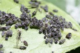 guide to vegetable garden pests identification and organic controls